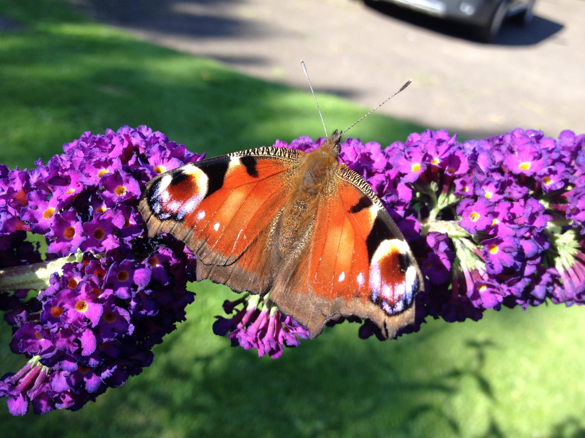 A peacock butterfly on a buddleia flower at Park House