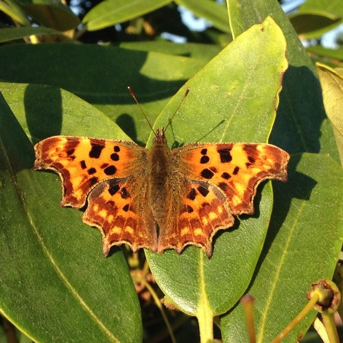 Polygonia c-album or the Comma butterfly, named for their punctuation shaped markings