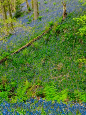 Clouds of Bluebells cover the floor of woods